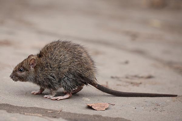 Многие люди инстинктивно боятся крыс