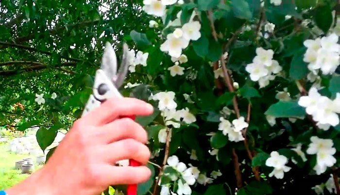 Как формировать жасмин садовый