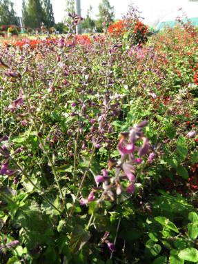 Сальвия ярко-красная (Salvia coccinea) Jewel Lavender