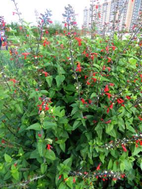 Сальвия ярко-красная (Salvia coccinea) Jewel Red