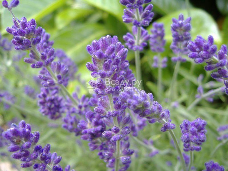 Английская лаванда - выращивание и уход в саду