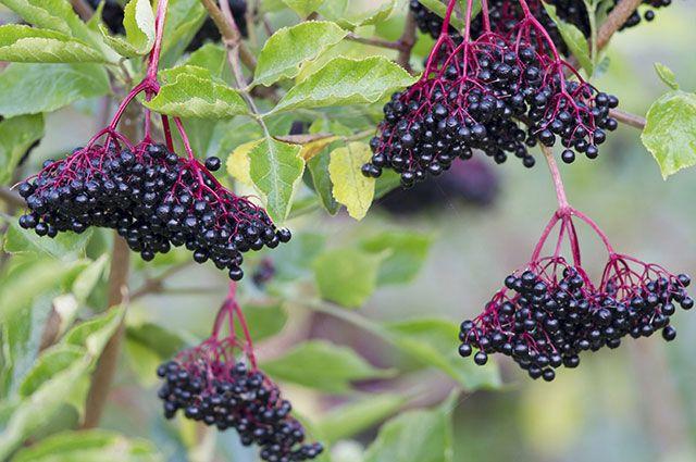 Какие ягодные кустарники посадить на участке