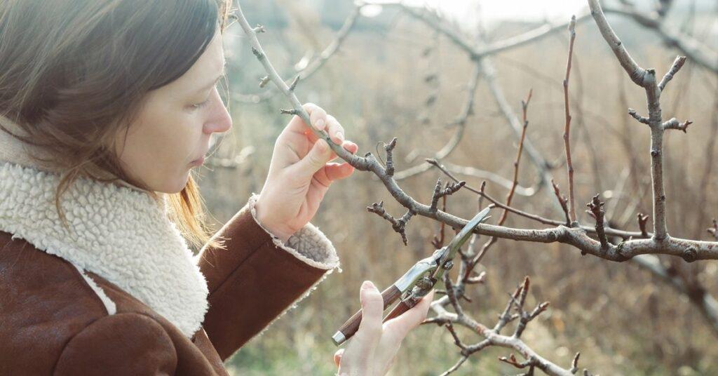 Как обрезать саженец груши при посадке