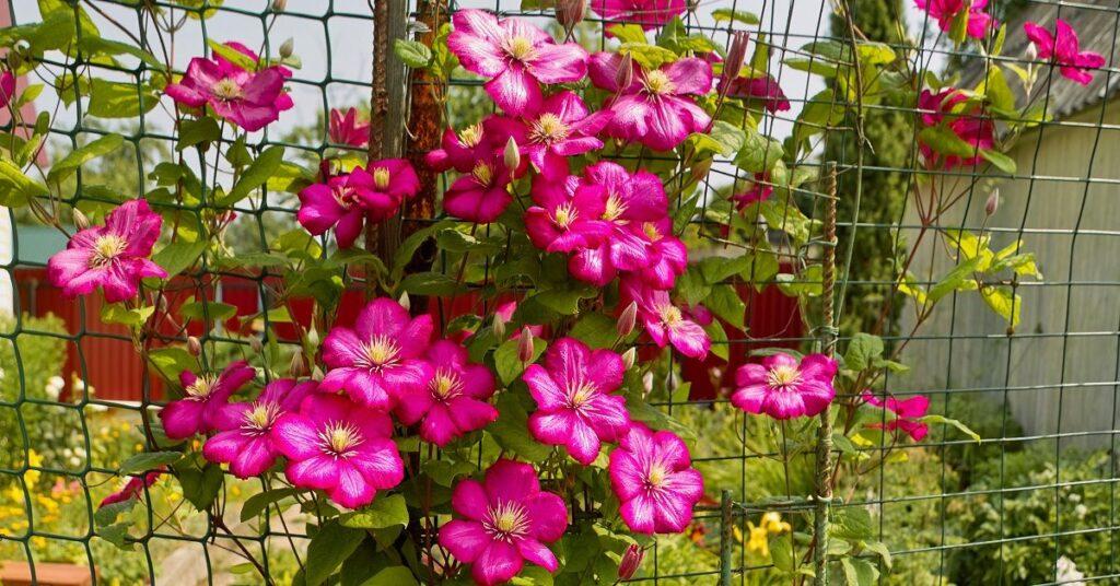 Клематис пурпурный