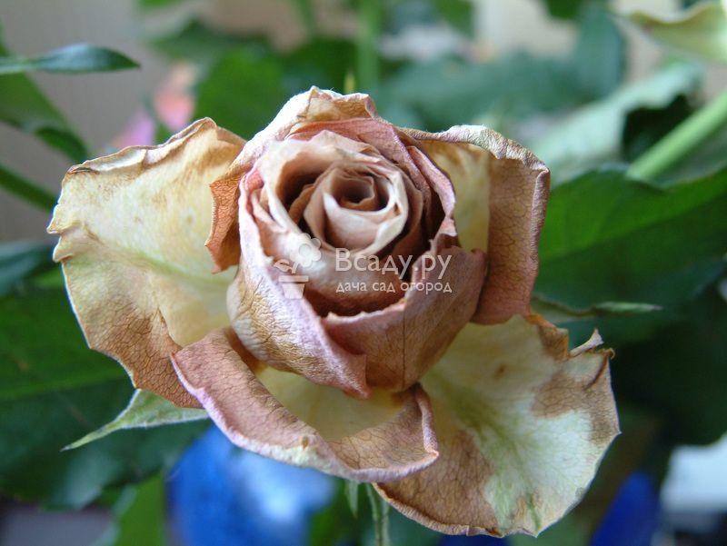 Последствия инфекционного ожога на бутоне розы