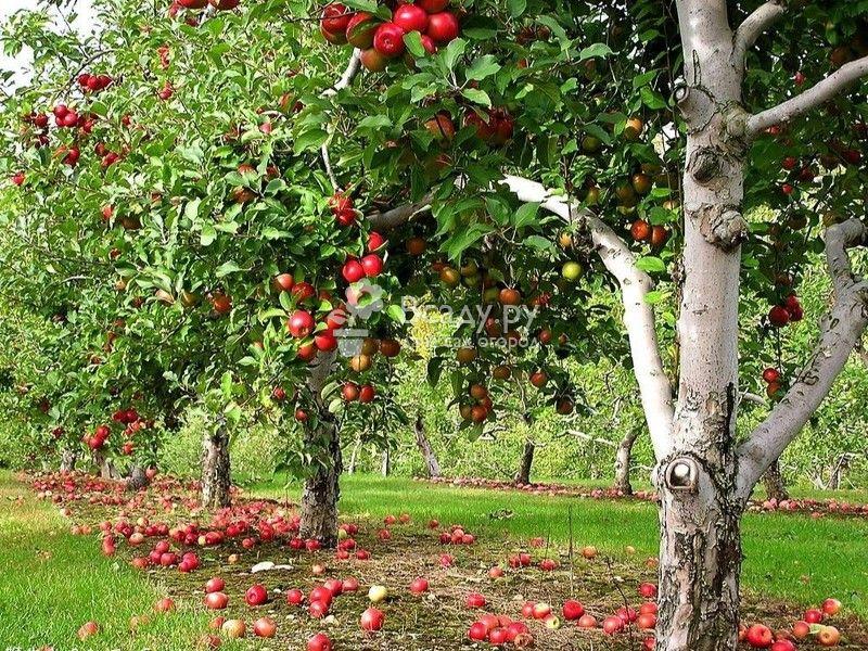 Как посадить яблоню весной правильно