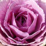 Капуста розовая цапля