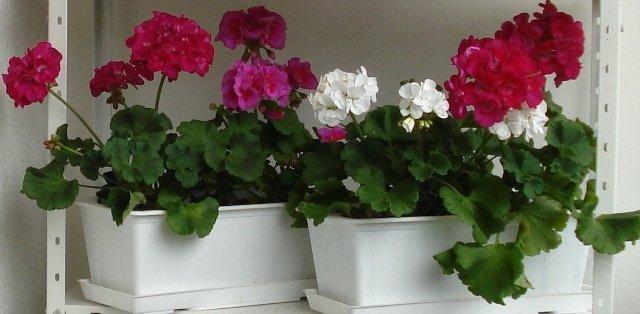 Цветущие герани в ящиках
