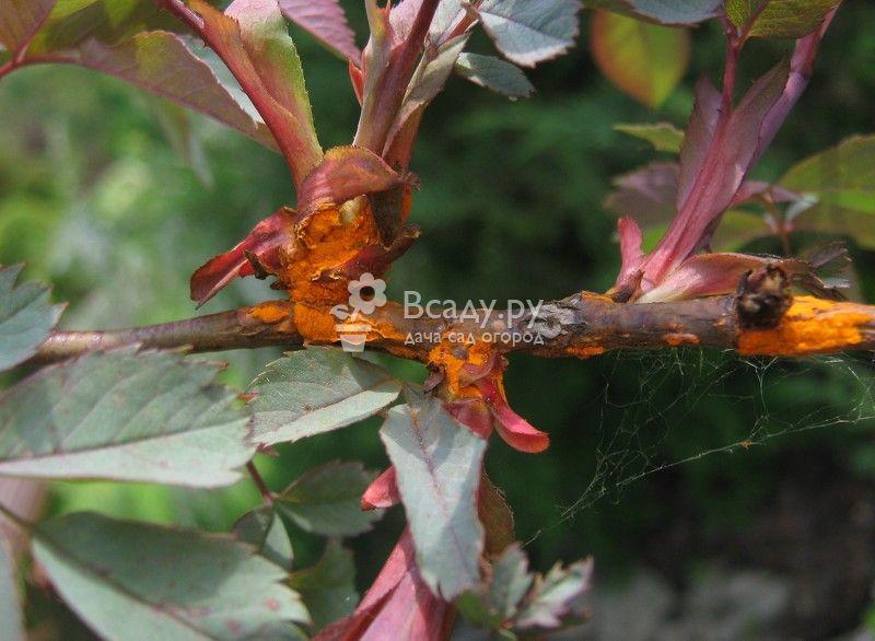 Ржавчина роз - одно из самых опасных грибковых заболеваний