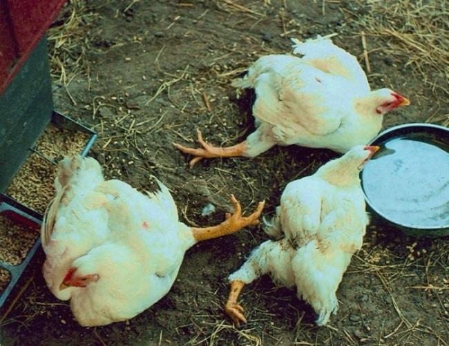 Курица не встает на ноги что делать