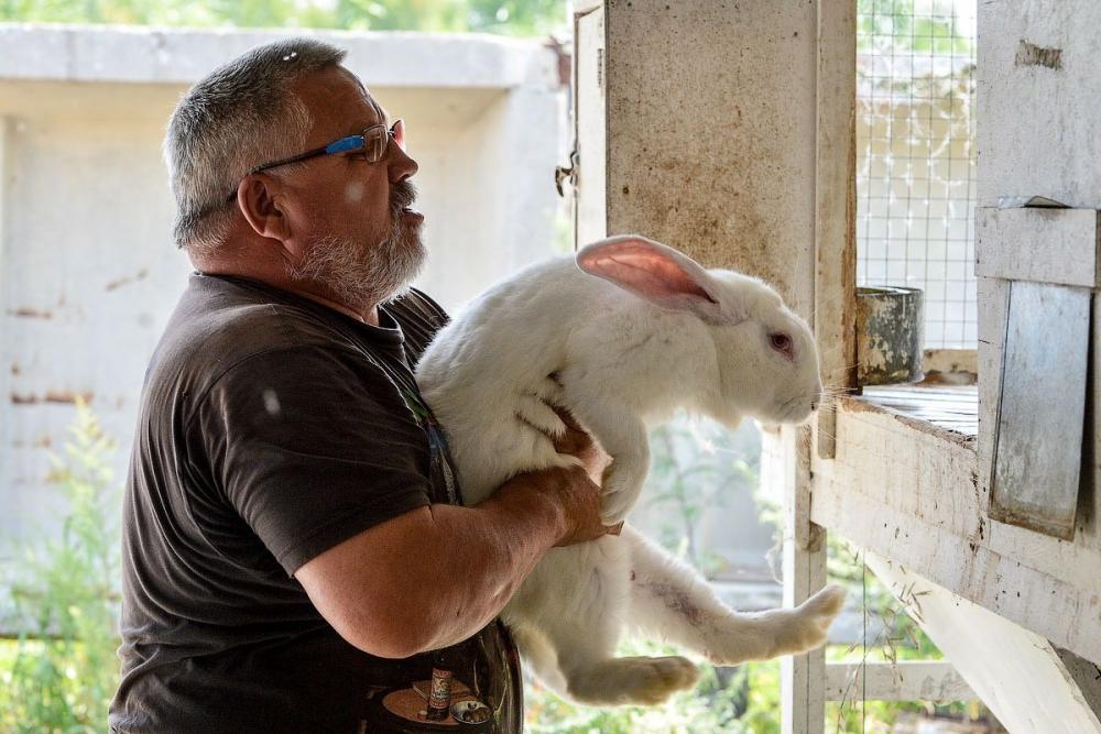 Как кормить кроликов перед забоем